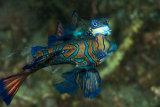 Harlequin fish mating, Bunaken