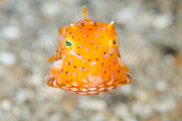 Boxfish, Lembeh