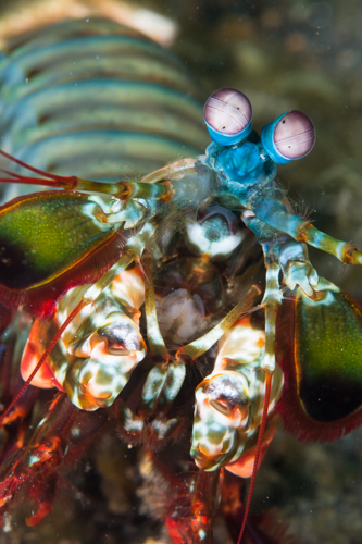 Harlequin mantis shrimp, Lembeh