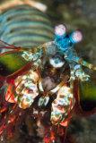 Harlequin mantis shrimp, Lembeh