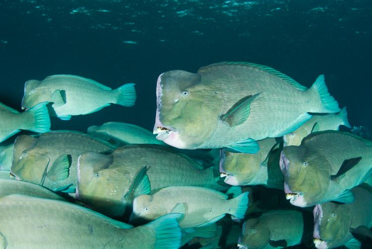 Bumphead parrotfish, Sipadan