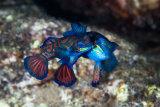 Harlequin fish mating, Banda Sea