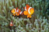 Anenomefish, Philippines