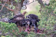 Golden Eagle Nest