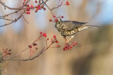 Mistle Thrush on Rowan