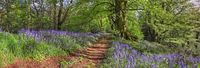 bluebell walk  panoramic