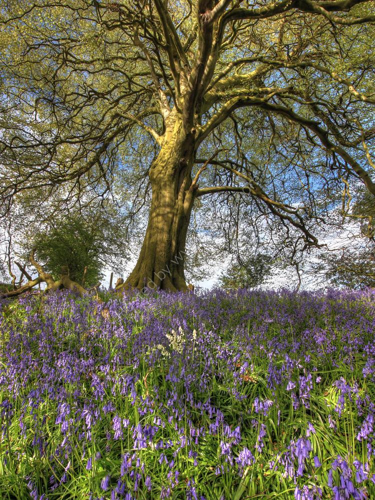 bluebell beech tree