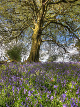 bluebell beech tree