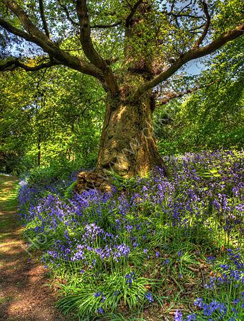 capesthorne bluebell oak