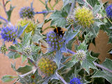 sea holly bee