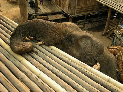 Working elephant village Chiang Rai