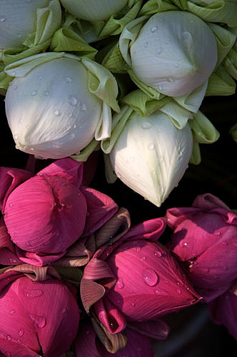Lotus flowers for temple visit