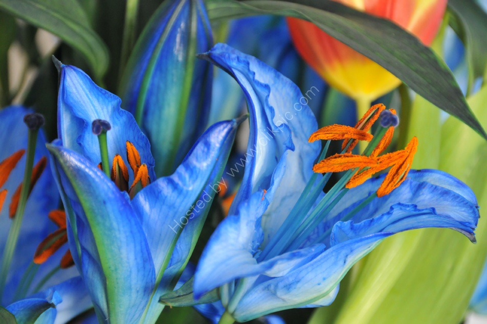 blue lillies00