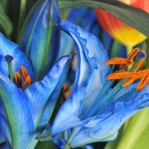 blue lillies00