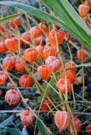 Orange Winter Bells