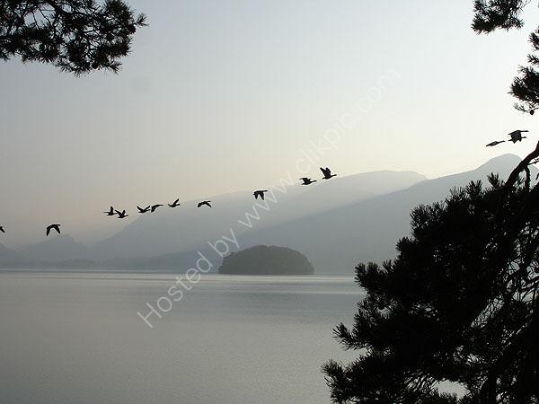 Geese over Derwentwater