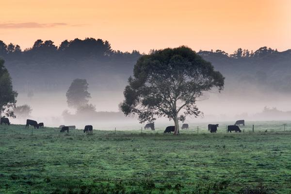 Wingello Cattle