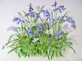 Bluebells & Wood Anemones
