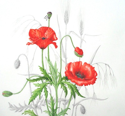 Papaver rhoes