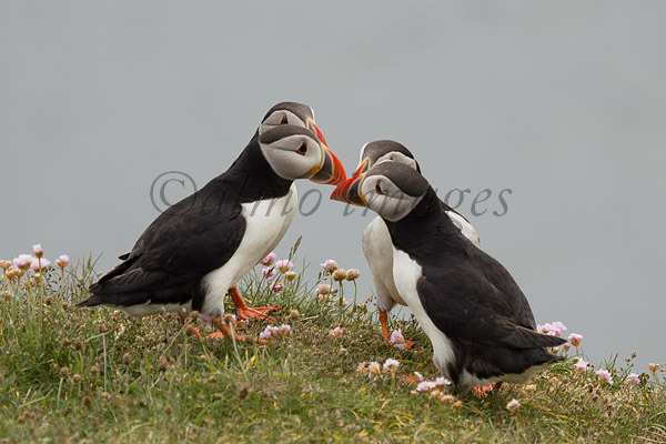 Puffin get together
