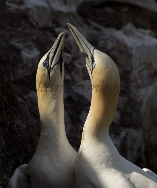 Gannets at RSPB reserve, Troup Head