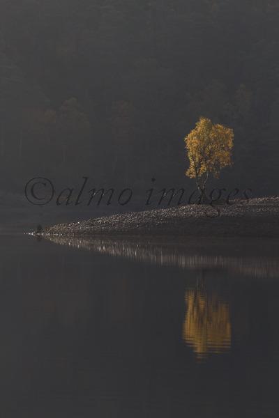 Lone Birch in Glen Affric