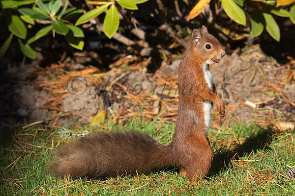 Red Squirrel on the look out