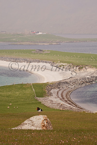 Oystercatcher, Shetland