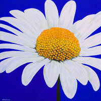 'Summer Bellis' SOLD