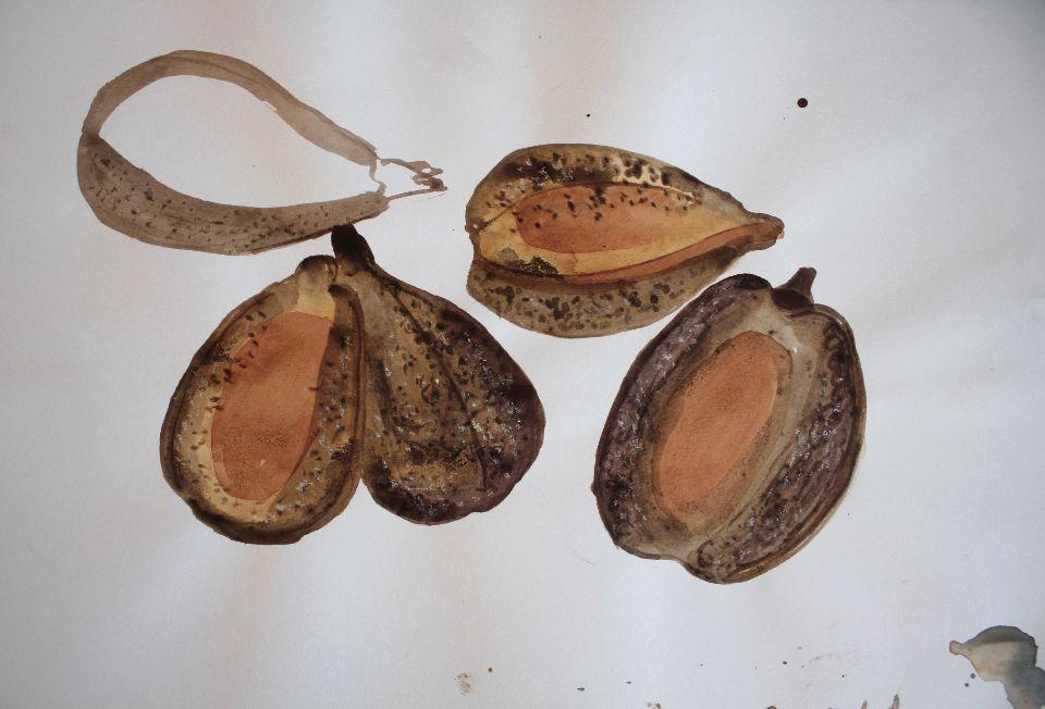 Cornsalad seed