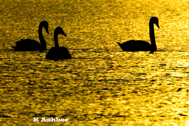 Whooper Swan sunset