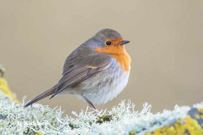 Migrant Robin