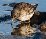 Dabbling Purple Sandpiper : Richard Poyer : Score 12