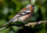 Highly Commended Chaffinch : Joan Robinson