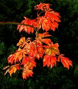 1st A blaze of Acer - Richard Poyer