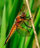1st Four spotted Chaser - Richard Poyer
