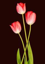 1st Tulips - John Twizell