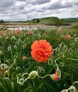 2nd Alnmouth Poppy - Mavis McCormick