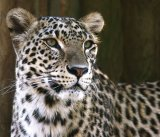 3rd Snow leopard - David Jackson