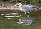 3rd Heron Fishing : John Angus