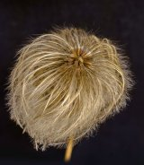 Com Clemitas Seed Head : Dennis Hall
