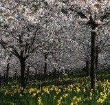 Com Cherry Blossom - Ken Bush