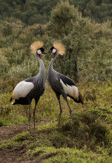 Com Crested Cranes Displaying : Penny Horseman