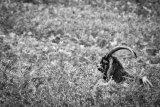 HC Cheviot feral goat - Gavin Wallace