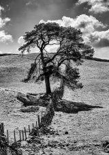 HC Lone tree - Helen Holmes
