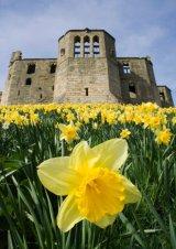 Warkworth Castle Daffodils