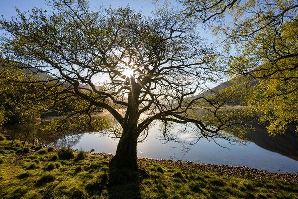 Lochside Alder