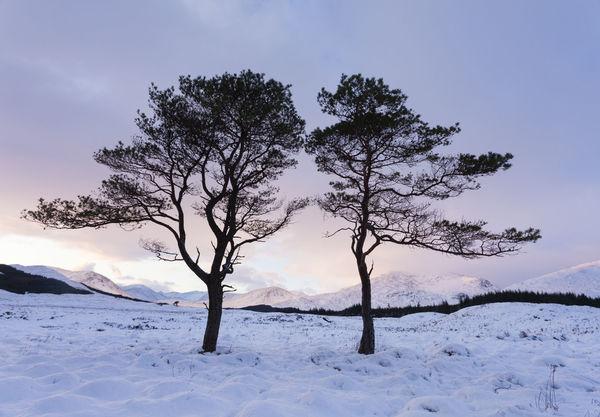 Dancing Scot's Pine