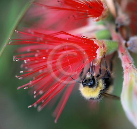 17 BOTTLEBRUSH FLOWER AND A BEE by Dee Ballard