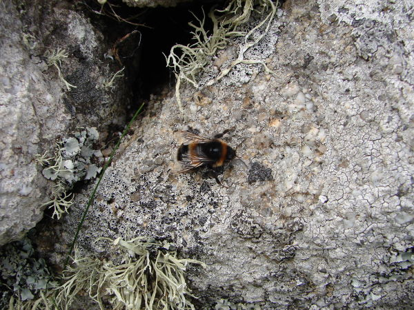 Scilly Bee